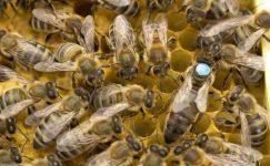 İşçi Arılar Kraliçe Arıyı Kovmaya Karar Vermesinden Sonraki Yaşananlar Hayretle Okuyacaksınız